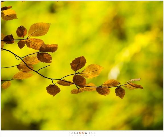 Enkele bruine bladeren tegen het geelgroene bladerendek van de beuken op de achtergrond. (ISO200, f/4, 1/125, -0,6EV,  200mm brandpunt)