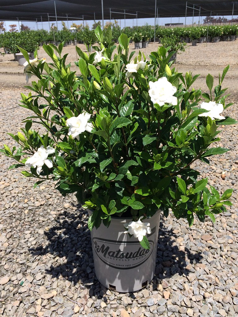 Intriguing August Beauty By Gardenia August Beauty By Gardenia August Beauty Flickr August Beauty Gardenia Bloom Time August Beauty Gardenia Zone 7 houzz-03 August Beauty Gardenia
