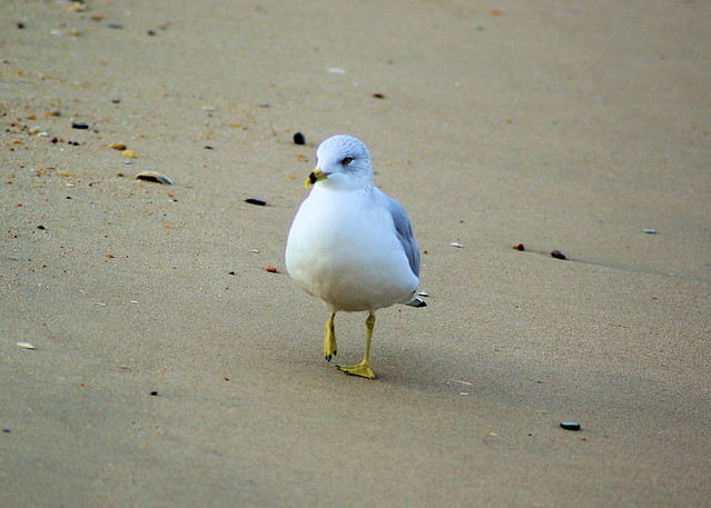 Seagull walking on beach, Norfolk, Virginia, December 13, 2007