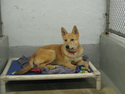 Medium Of Corgi Shiba Mix
