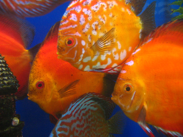 Discus Fishes! | No Flashes! | By: sas pictures 2008 | Flickr   Photo