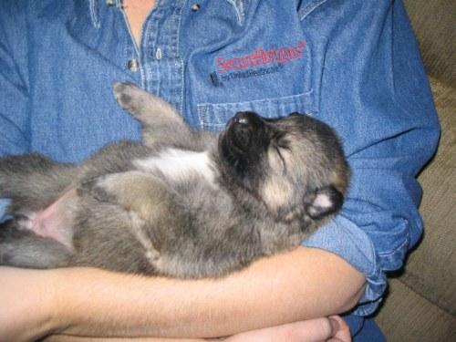 Medium Of German Shepherd Wolf Mix
