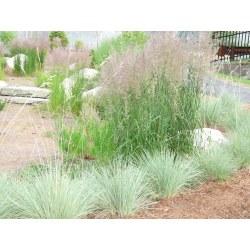 Small Crop Of Blue Oat Grass