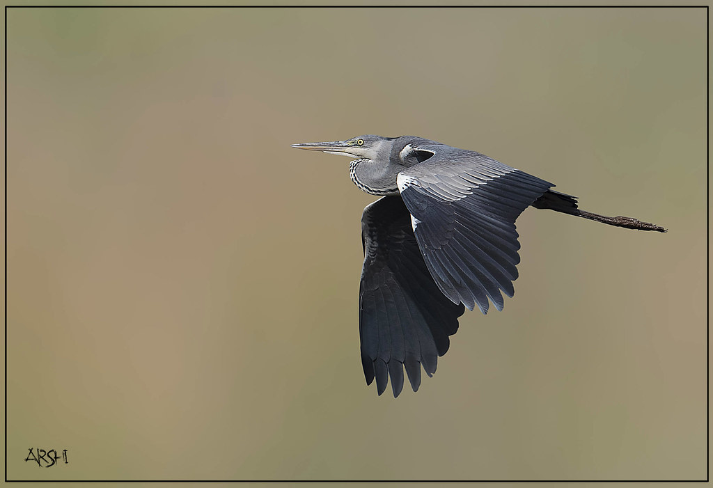 BIRD NAME  GREY HERON   Let your smile change the world but       Flickr     BIRD NAME  GREY HERON   by Arshad Aashraf