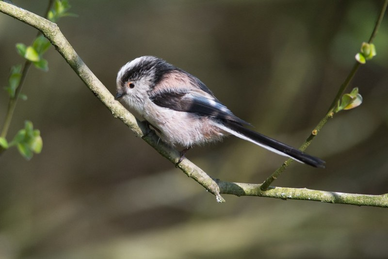 Long-tailed Tit at Sale Water Park