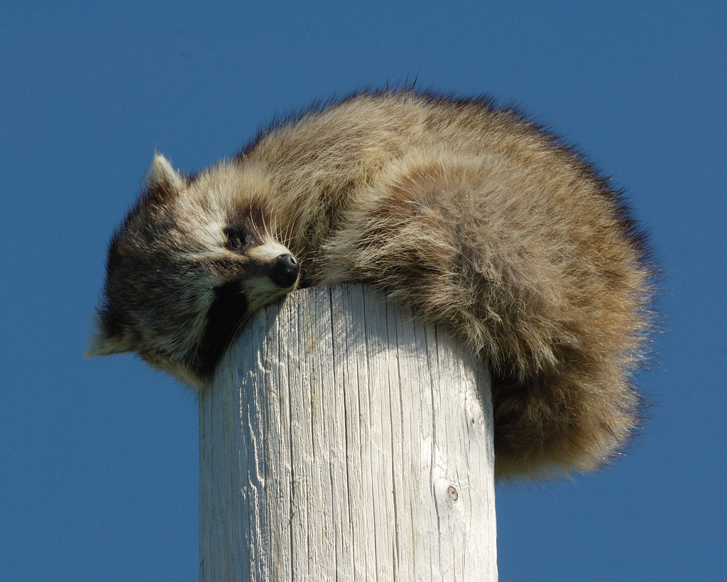 Splendent Sleeping Raccoon By Jamuudsen Sleeping Raccoon By Jamuudsen Sleeping Raccoon Unfortunately I Bring My General Flickr Boo Falling Asleep Gif Falling Asleep Gif Ny bark post Falling Asleep Gif