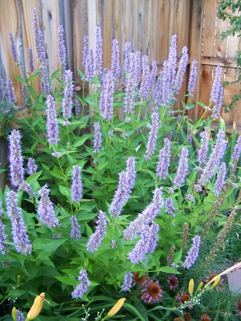 Alluring Blue Fortune Hyssop By Blue Fortune Hyssop Blue Fortune Hyssop Agastache Patrick Standish Agastache Blue Fortune Spacing Agastache Blue Fortune Invasive houzz-02 Agastache Blue Fortune