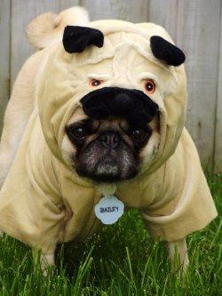 Smartly Pug Costume By Dapuglet Pug Costume As A Pug A Pug Flickr Pug Bee Costume Pug Puppies Costumes