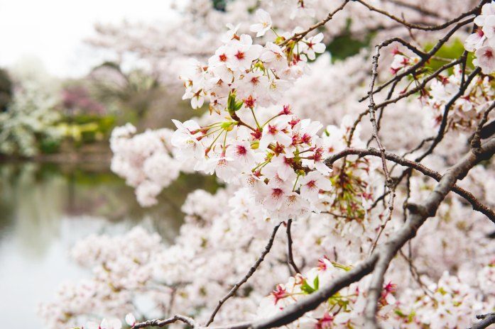 Sakura in giappone by Wild at Earth