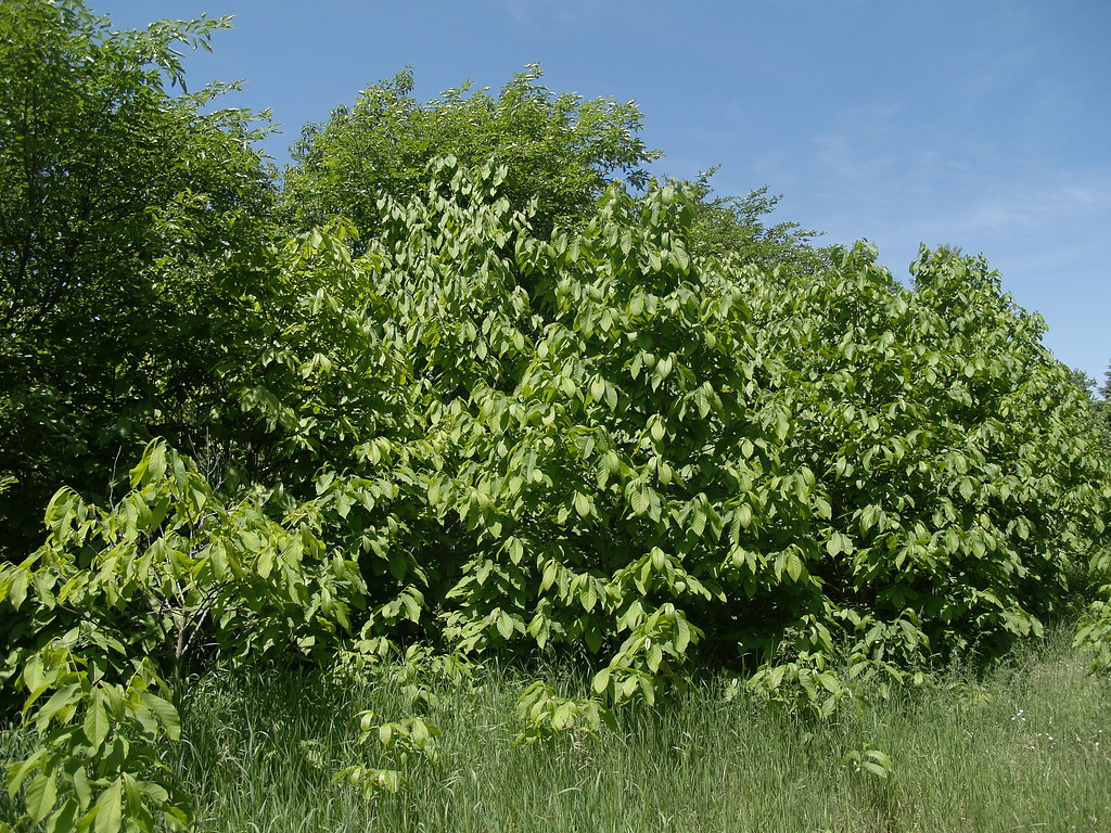 Top Pawpaw Thicket By Mark Angelini Pawpaw Thicket By Mark Angelini Pawpaw Thicket Oikos Tree Crops Mi Mark Angelini Flickr Ken Asmus Oikos Tree Crops Oikos Tree Crops Nursery houzz-03 Oikos Tree Crops