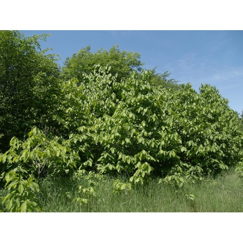Medium Crop Of Oikos Tree Crops