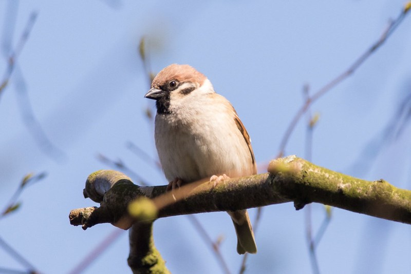 Male Tree Sparrow at Martin Mere.