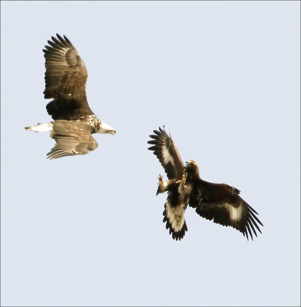 Comely By Bald Eagle Gen By Bald Eagle Gen I Was Watching This Baldy Flickr Eagle Vs Hawk Wings Eagle Vs Hawk Sound dpreview Eagle Vs Hawk