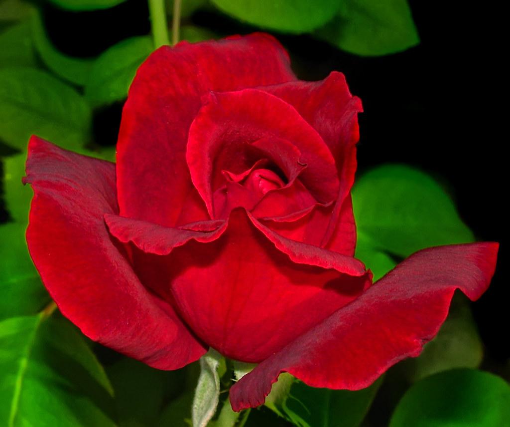 Trendy Garden Lincoln Red Rose Garden Flickr Mr Lincoln Rose Tree Mr Lincoln Rose History Lincoln Red Rose houzz-02 Mr Lincoln Rose