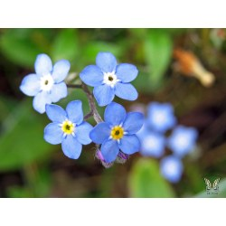 Small Crop Of Forget Me Not Seeds