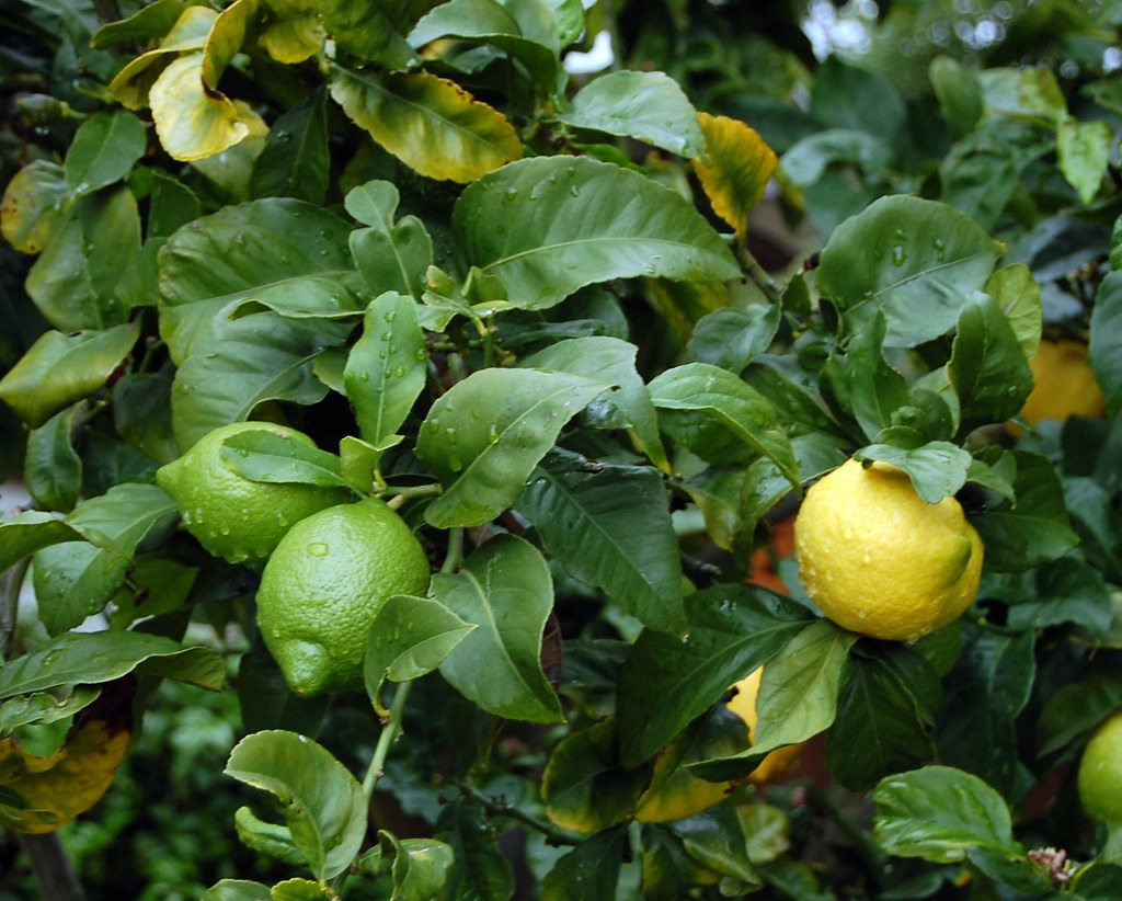 Joyous Hybrid Lemon Lime Tree By Lcedgar Hybrid Lemon Lime Tree This Tree Was Braided Lemon Fruit Face Difference Between Lime Lemon Grew Flickr Difference Between Lime houzz 01 Difference Between Lime And Lemon