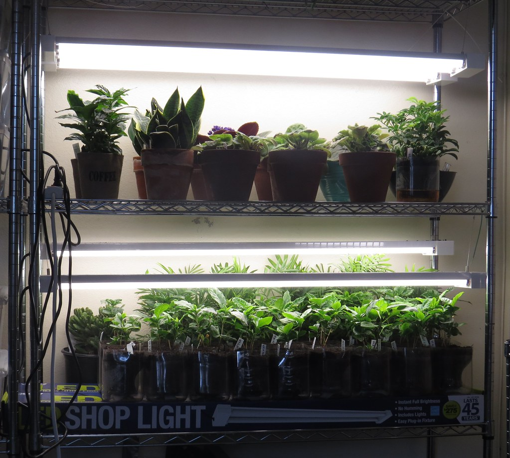 Fulgurant Led Shop Lights From Costco Growing Flickr Costco Led Shop Light Hardwire Costco Led Shop Light Bulbs Plant Light Rack Led Shop Lights From Costco Growing A Coffee Treeplantation By Plant Li houzz-03 Costco Led Shop Light