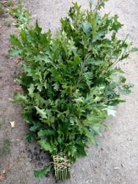 绿橡树叶子