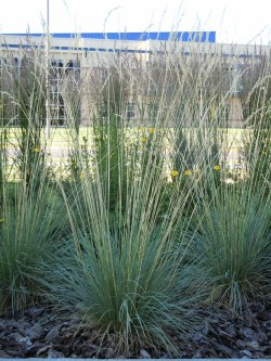 Small Of Blue Oat Grass