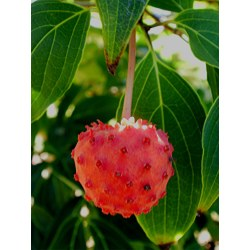Small Crop Of Kousa Dogwood Fruit