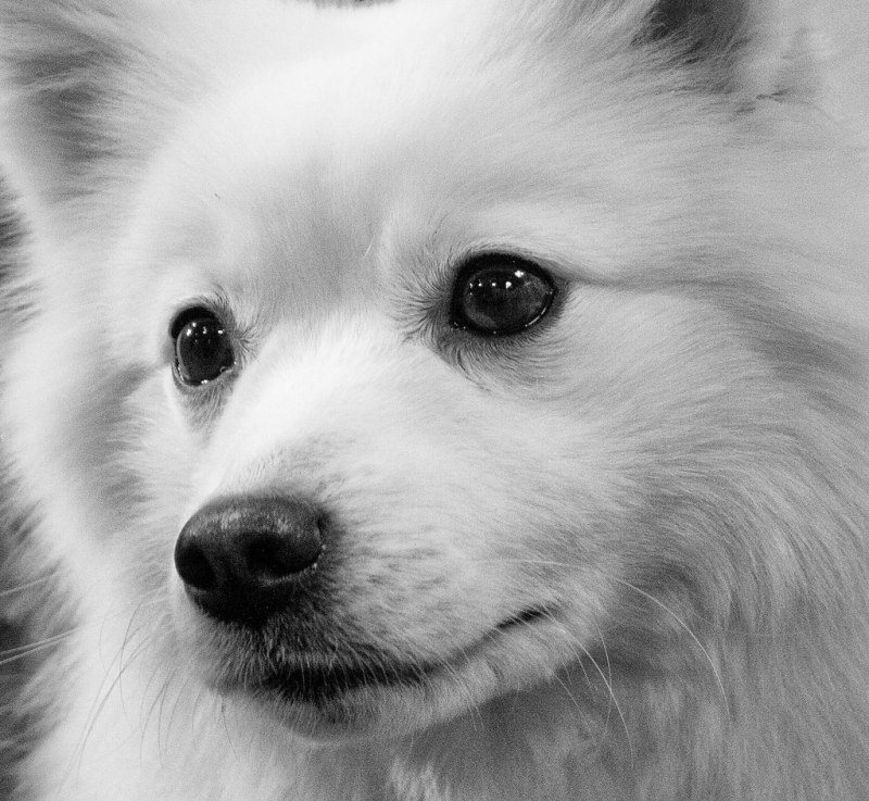 Large Of White Fluffy Dog