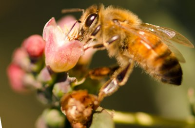 蜜蜂给雪莓授粉
