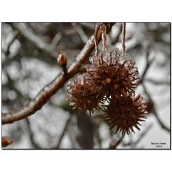 Supreme By Slomoz Trio Gum By Slomoz Trio Gum American Gum Tree Flickr Gum Tree Balls Edible Gum Tree Balls Crafts