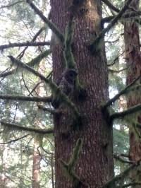 森林中的猫头鹰