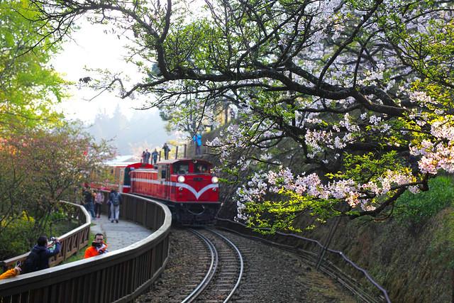 阿里山 櫻花and小火車