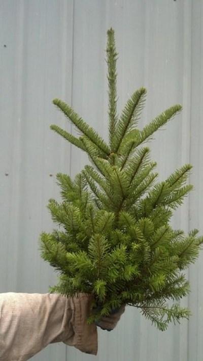 查理·布朗的树木