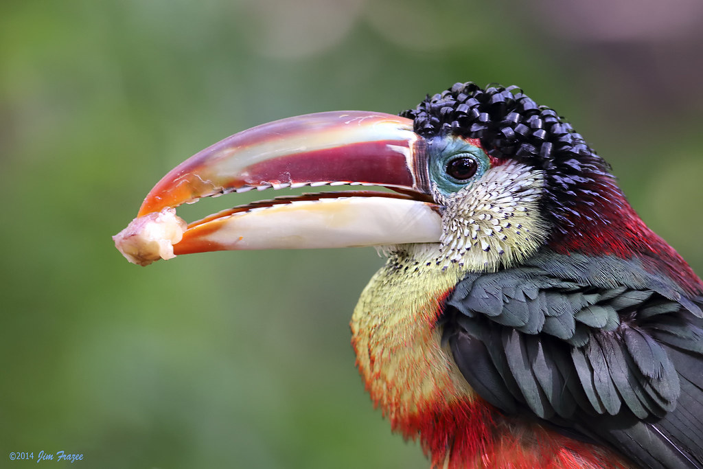 How  bout them apples    Curl Crested Aracari  Pteroglossu      Flickr Curl Crested Aracari  Pteroglossus beauharnaesii    Parker