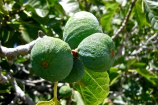 figs in the tree