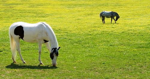 Horses grazing in Lexington, Kentucky