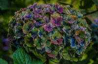 世界著名的古代绣球花