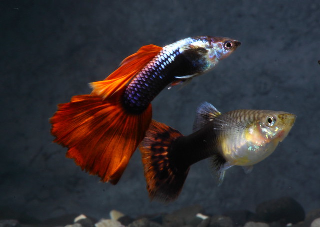 Blue red male and female    Flickr   Photo Sharing!