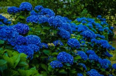 深蓝色的绣球花