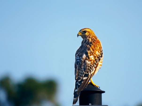 The hawk on the lamp post