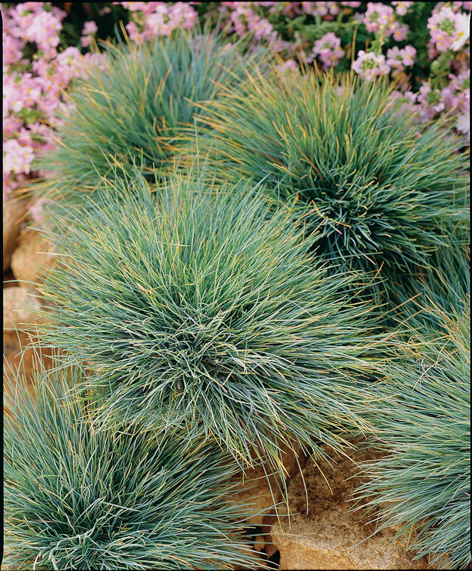 Smart Containers Zoom Blue Blue Fescue Festuca Proven Winners Blue Fescue Grass Watering Blue Fescue Grass houzz 01 Blue Fescue Grass