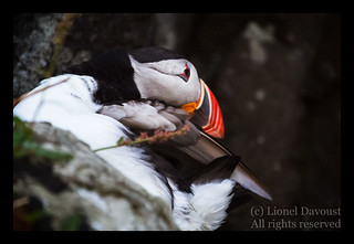 Puffin grooming
