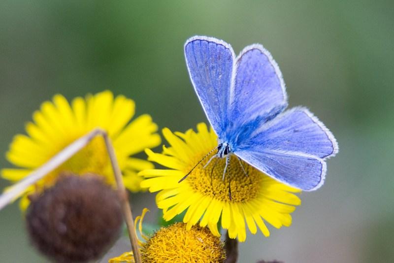Male Adonis Blue nectaring