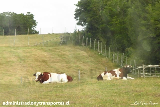 Vacas en Isla Caucahue