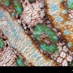 R 211d Veiled Chameleon Skin Close Up Stock Photo 4105550 Alamy