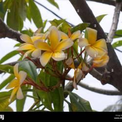 Flowering trees fl yellow flowering tree florida gallery flower decoration ideas mightylinksfo