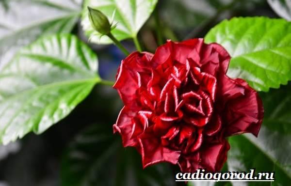 Сорта комнатных роз с фото