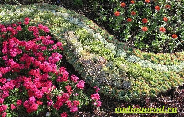 Молодило цветов в клумбе