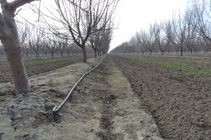 Almond irrigation