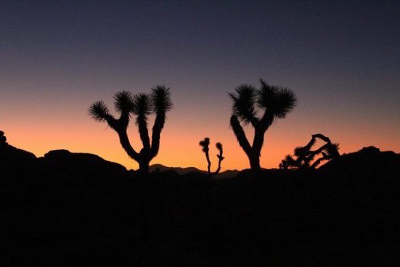 joshua tree on the horizon line
