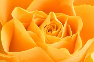 5692-close-up-of-a-yellow-rose-pv