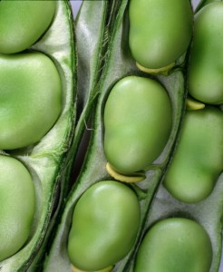 broad-beans-in-pod-camelcsa