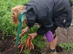 carrot-harvesting-camelcsa-170616